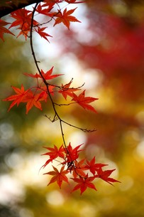 山の紅葉の写真素材 [FYI00627147]