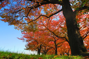荒川赤羽桜堤緑地の秋の風景の写真素材 [FYI00627150]