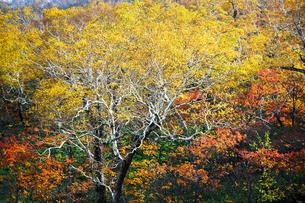 北海道・日勝峠の紅葉(黄葉)の写真素材 [FYI00627188]