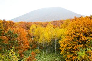 北海道・帯広の北 大雪山国立公園の紅葉(黄葉)の写真素材 [FYI00627198]