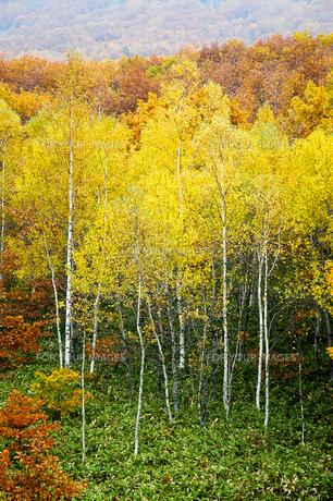 北海道・帯広の北 大雪山国立公園の紅葉(黄葉)の写真素材 [FYI00627200]