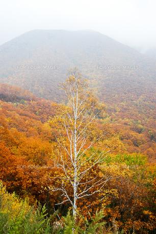 北海道・帯広の北 大雪山国立公園の紅葉(黄葉)の写真素材 [FYI00627203]