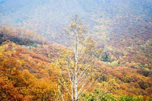 北海道・帯広の北 大雪山国立公園の紅葉(黄葉)の写真素材 [FYI00627204]