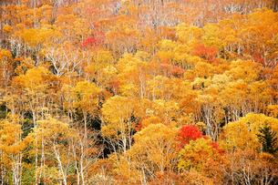北海道・帯広の北 大雪山国立公園の紅葉(黄葉)の写真素材 [FYI00627206]