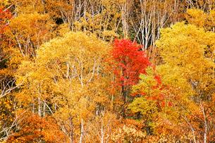 北海道・帯広の北 大雪山国立公園の紅葉(黄葉)の写真素材 [FYI00627207]