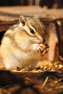エサを食べるシマリスの写真素材 [FYI00627334]