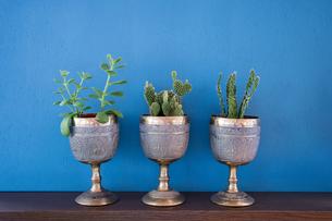 青背景に置かれた観葉植物の写真素材 [FYI00627752]