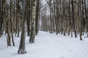 Snow covered tree trunks. Winter alleyの写真素材 [FYI00628190]