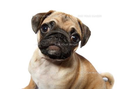 Pug puppyの写真素材 [FYI00628940]