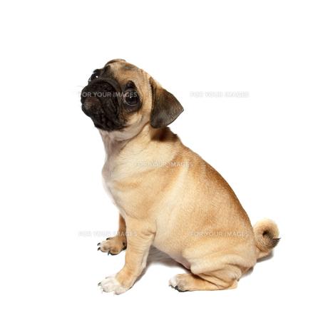 pug puppy sittingの写真素材 [FYI00628944]