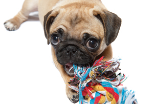 pug dog with a toyの写真素材 [FYI00628945]