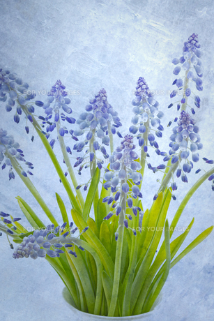grape hyacinths with superimposed textureの素材 [FYI00631473]