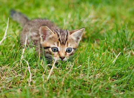 Little striped kitten hiding in the grassの素材 [FYI00631492]