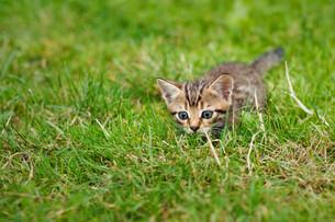 Little striped kitten hiding in the grassの素材 [FYI00631788]