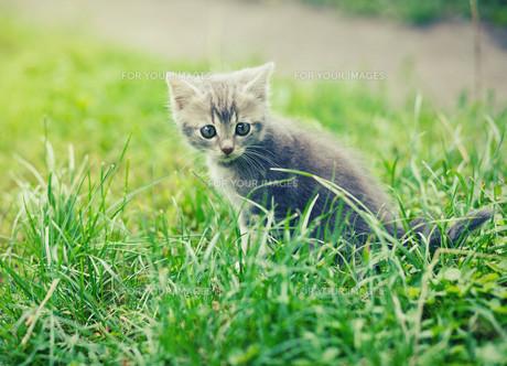 gray kittenの素材 [FYI00631811]