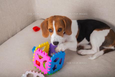 Beagle playing on sofaの写真素材 [FYI00631896]