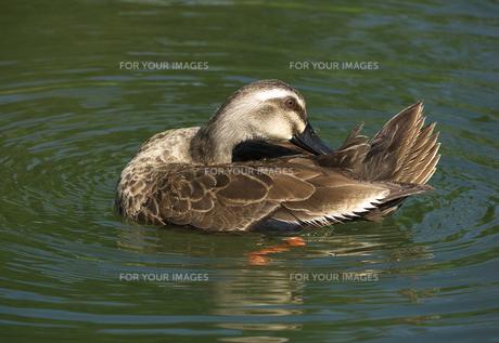 カルガモ水上左向き羽の手入れの写真素材 [FYI00632486]
