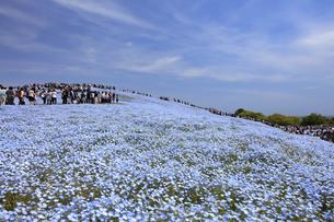 ネモフィラの丘 - 日本の初夏 -の写真素材 [FYI00632595]