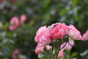 ピンクと白のバラ - 日本 秋の花 -の写真素材 [FYI00632605]