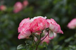 ピンクと白のバラ - 日本 秋の花 -の写真素材 [FYI00632606]