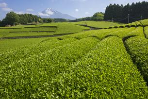 新緑の茶畑の写真素材 [FYI00632699]