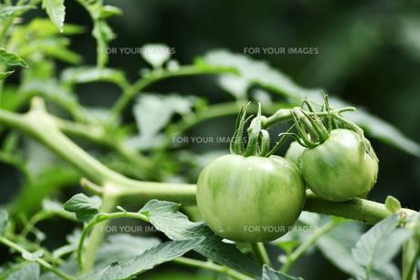 露地栽培のトマトの写真素材 [FYI00632935]