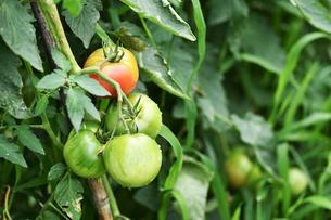 露地栽培のトマトの写真素材 [FYI00632936]