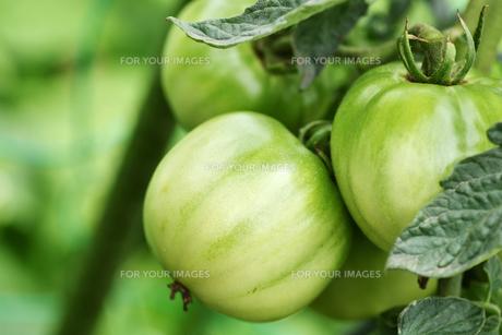 露地栽培のトマトの写真素材 [FYI00632939]