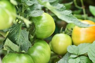 露地栽培のトマトの写真素材 [FYI00632940]