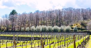 empty vineyard in Etna winemaking area in springの写真素材 [FYI00633749]