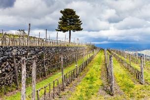 empty vineyard in Etna agrarianl region in springの写真素材 [FYI00633751]