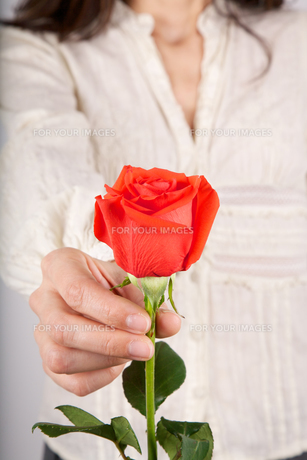 white shirt woman offering red roseの写真素材 [FYI00636275]