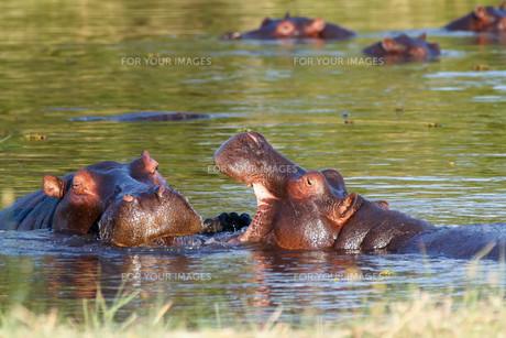 Two fighting young male hippopotamus Hippopotamusの写真素材 [FYI00636624]