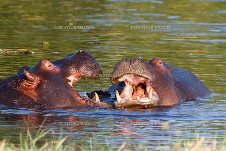 Two fighting young male hippopotamus Hippopotamusの写真素材 [FYI00636627]