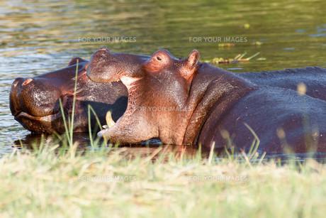 Two fighting young male hippopotamus Hippopotamusの写真素材 [FYI00636638]