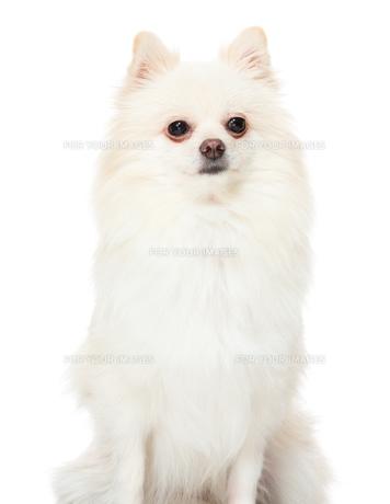Pomeranian dogの写真素材 [FYI00638618]