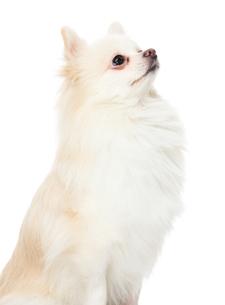 Cute pomeranian puppy looking upの写真素材 [FYI00638619]