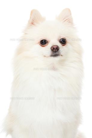 Pomeranianの写真素材 [FYI00638620]