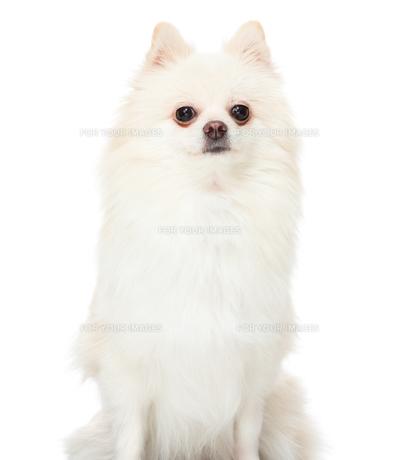 Pomeranian dog sitting on isolated backgroundの写真素材 [FYI00638621]