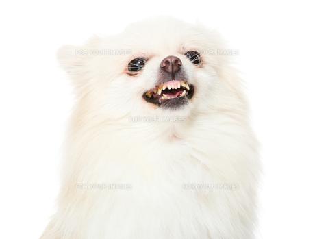 Pomeranian dog feeling angryの写真素材 [FYI00638623]