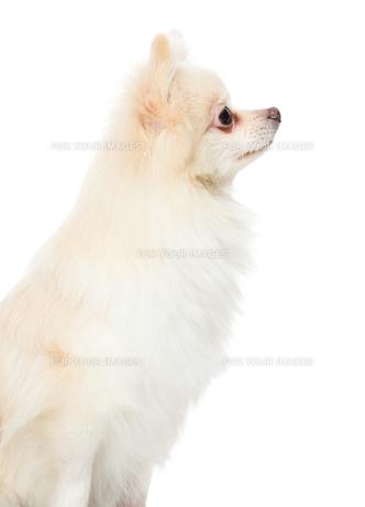Side profile of pomeranian dogの写真素材 [FYI00638624]