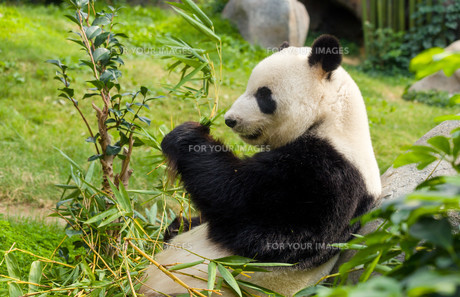 Hungry giant panda bear eating bambooの素材 [FYI00638719]