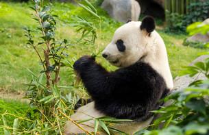 Hungry giant panda bear eating bambooの写真素材 [FYI00638719]