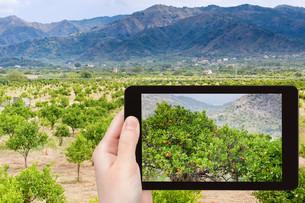 photo of tangerine trees in Sicilyの写真素材 [FYI00638787]