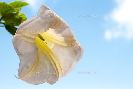 Angel's Trumpet - white datura flower on blue skyの写真素材 [FYI00638808]