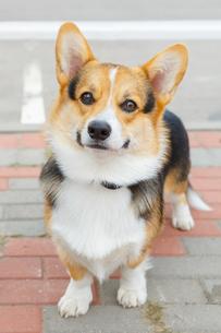 dog Pembroke Welsh corgi smilingの写真素材 [FYI00638848]