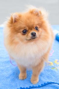 dog sable German Toy Pomeranian breedの写真素材 [FYI00638851]