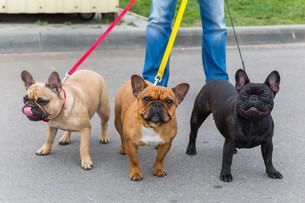 three domestic dogs French Bulldog breedの写真素材 [FYI00638853]