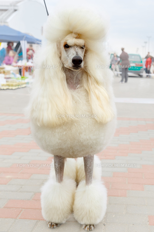 vector white dog Poodle breed sittingの写真素材 [FYI00638854]