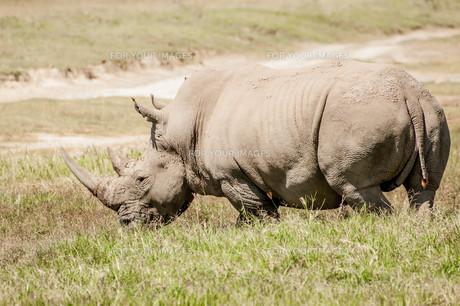 White Rhino in Grassの写真素材 [FYI00639745]